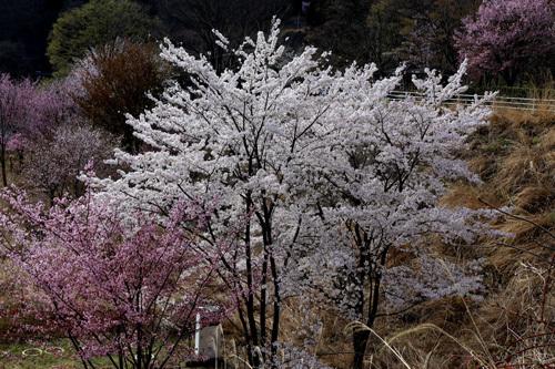 20180407荒川ダムの桜 (13)
