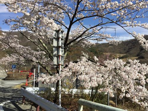 20180407荒川ダムの桜 (2)