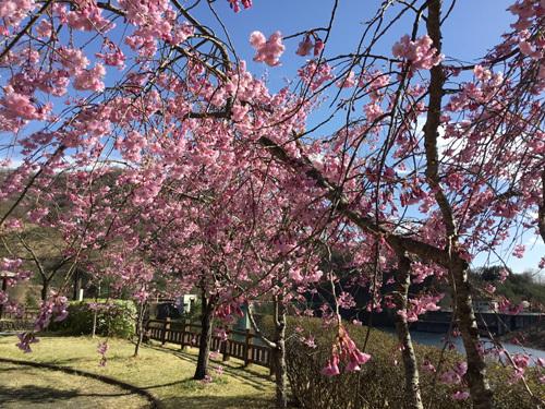 20180407荒川ダムの桜 (3)