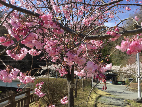 20180407荒川ダムの桜 (4)