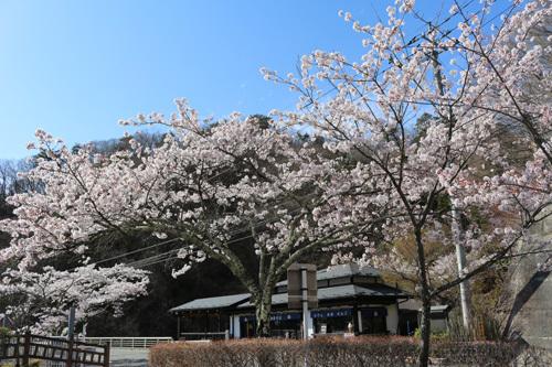20180407荒川ダムの桜 (5)