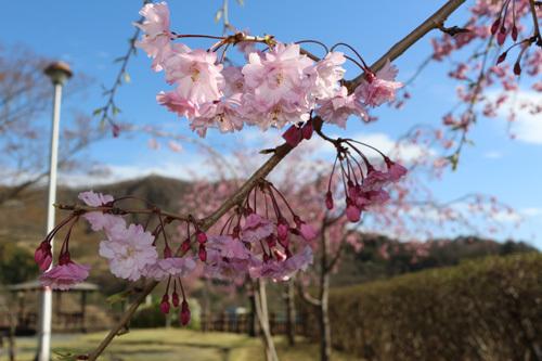 20180407荒川ダムの桜 (7)