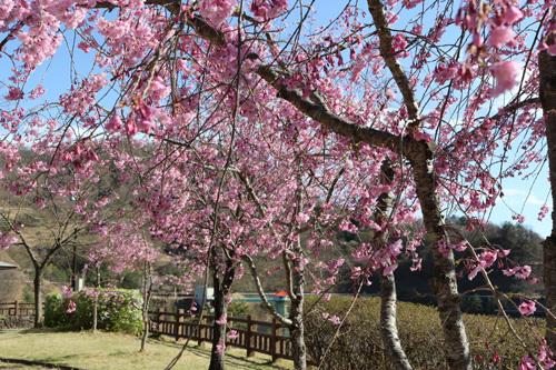 20180407荒川ダムの桜 (8)