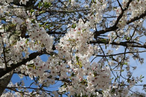 20180407市営駐車場の桜 (1)