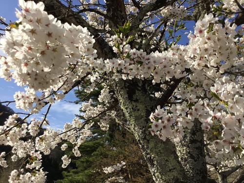 20180407市営駐車場の桜 (2)