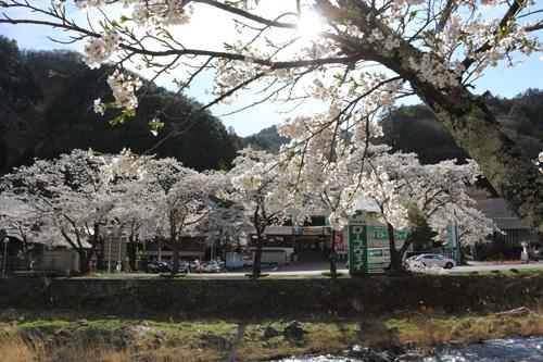 20180407市営駐車場の桜 (3)