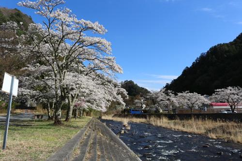 20180407市営駐車場の桜 (4)