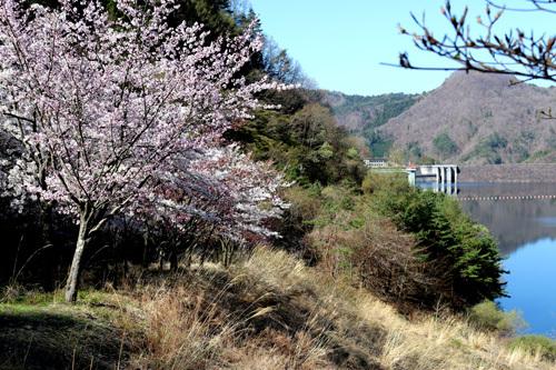 20180410 荒川ダムの桜 (4)