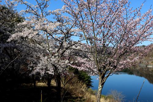 20180410 荒川ダムの桜 湖畔奥 (5)