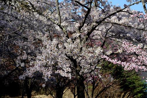 20180410 荒川ダムの桜 湖畔奥 (4)