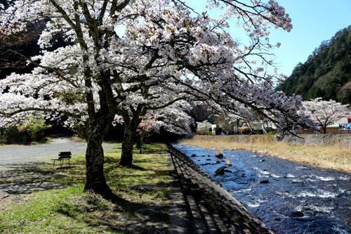 20180410滝上市営駐車場の桜 (1)