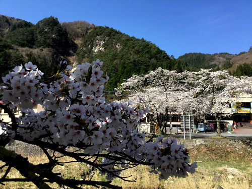 20180410滝上市営駐車場の桜 (3)