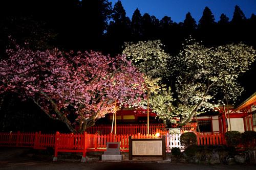 20180421 金櫻神社の鬱金桜 (3)