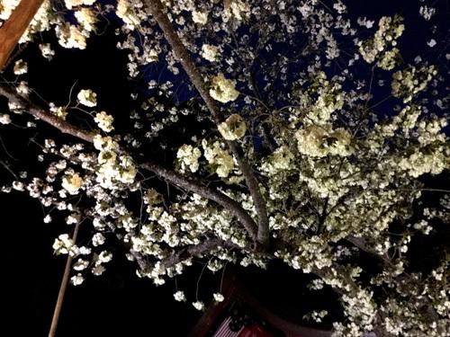 20180421 金櫻神社の鬱金桜 (1)