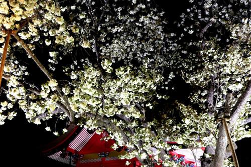 20180421 金櫻神社の鬱金桜 (13)