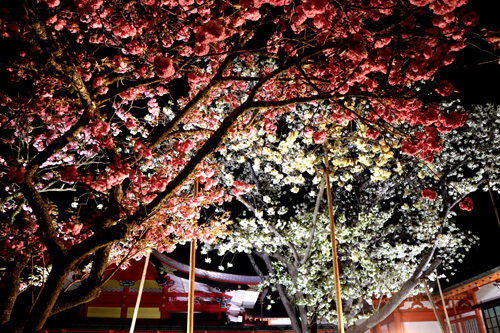 20180421 金櫻神社の鬱金桜 (16)