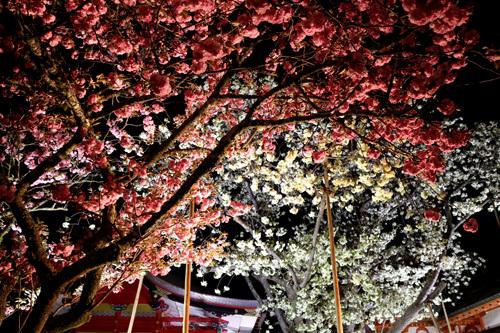 20180421 金櫻神社の鬱金桜 (17)