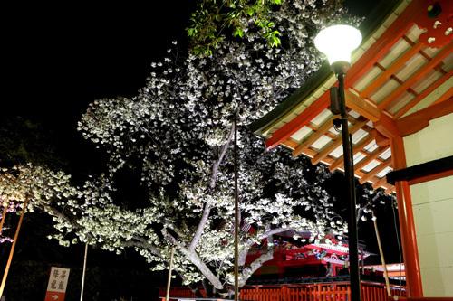20180421 金櫻神社の鬱金桜 (28)