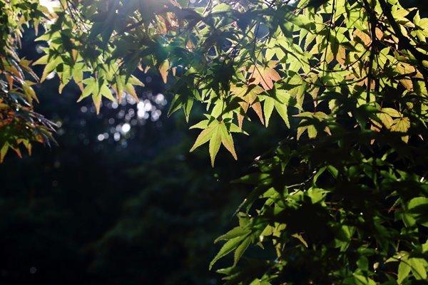 46, 2016-10-12 万博自然文化園 017 イロハモミジ (いろは紅葉) その6。 Japanese maple 600×400