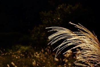 47, 2016-10-12 万博自然文化園 021 ススキ (薄) その1。 Japanese pampas grass 600×400