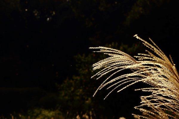 48, 2016-10-12 万博自然文化園 023 ススキ (薄) その2。 Japanese pampas grass 600×400