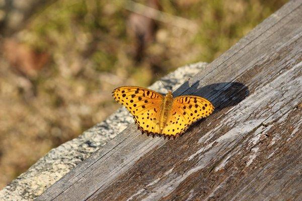 49, 2016-10-12 万博自然文化園 024 ツマグロヒョウモン (オス) その1。 Butterfly 600×400