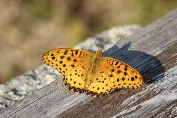 50, 2016-10-12 万博自然文化園 026 ツマグロヒョウモン (オス) その2。 Butterfly 600×400