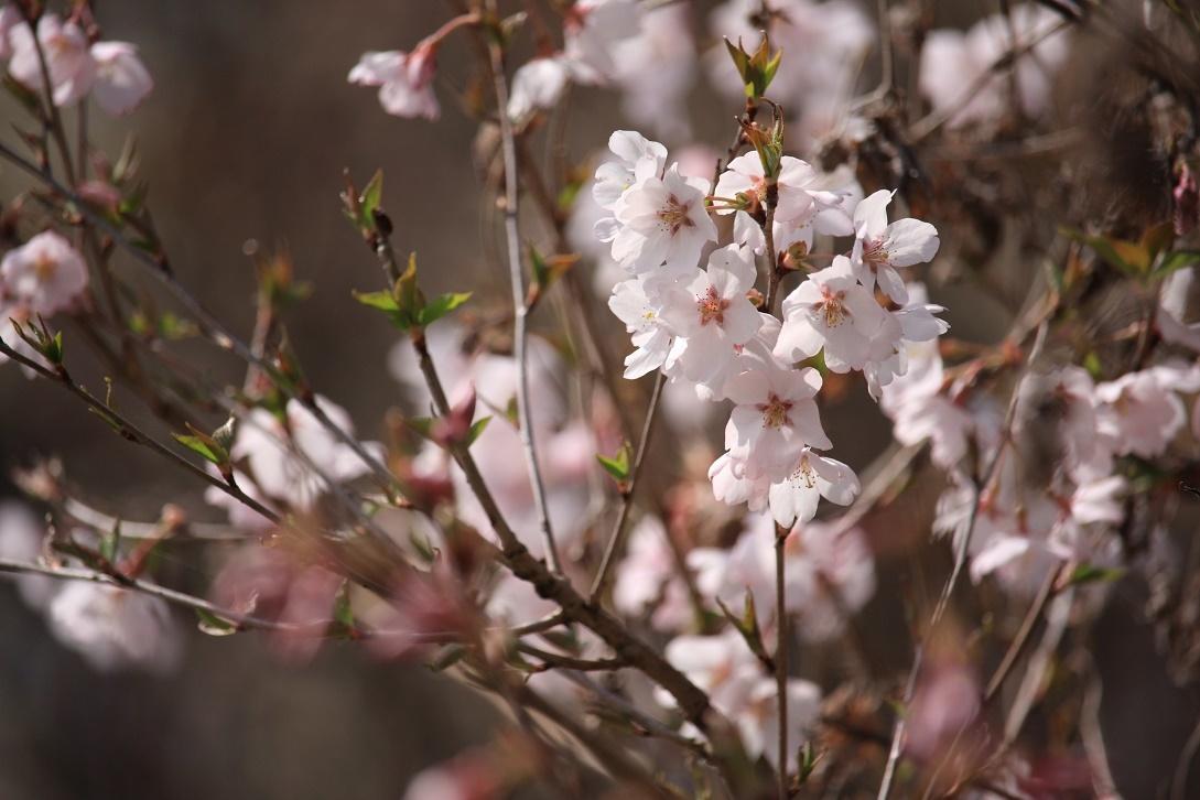 土手の桜18①