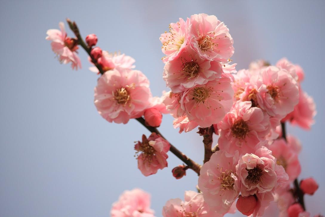 桃の花18①