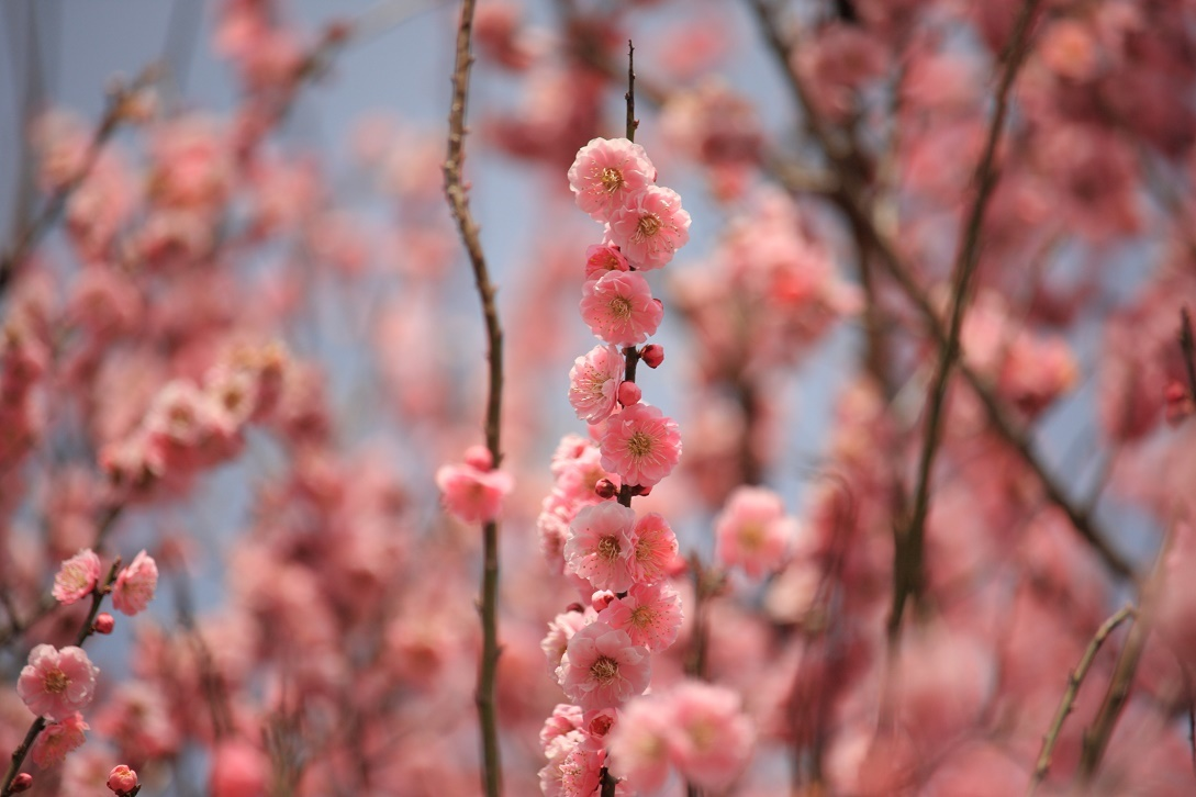 桃の花18②