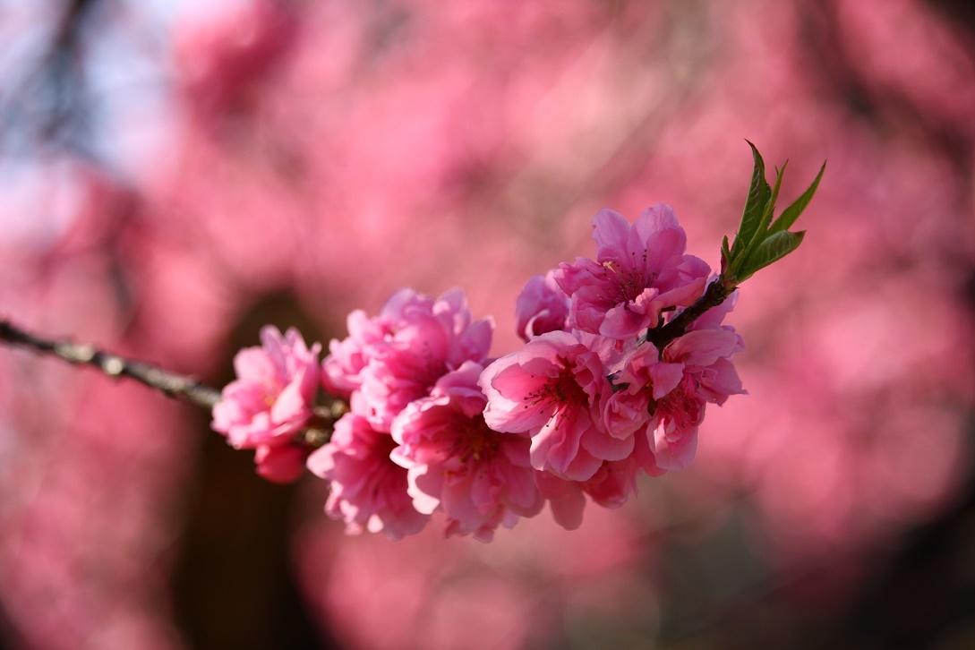 道端の桃の花18①