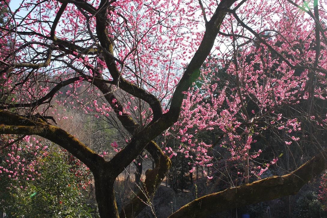 道路際の桃の木18③