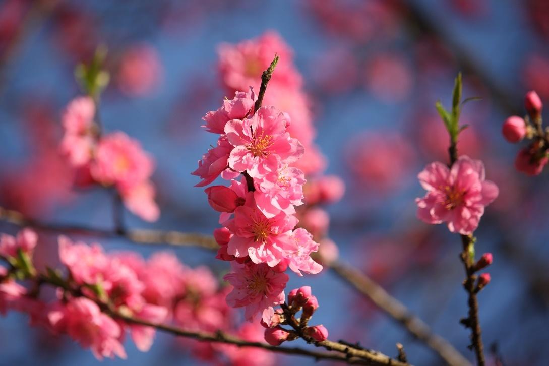 道端の桃の花18②