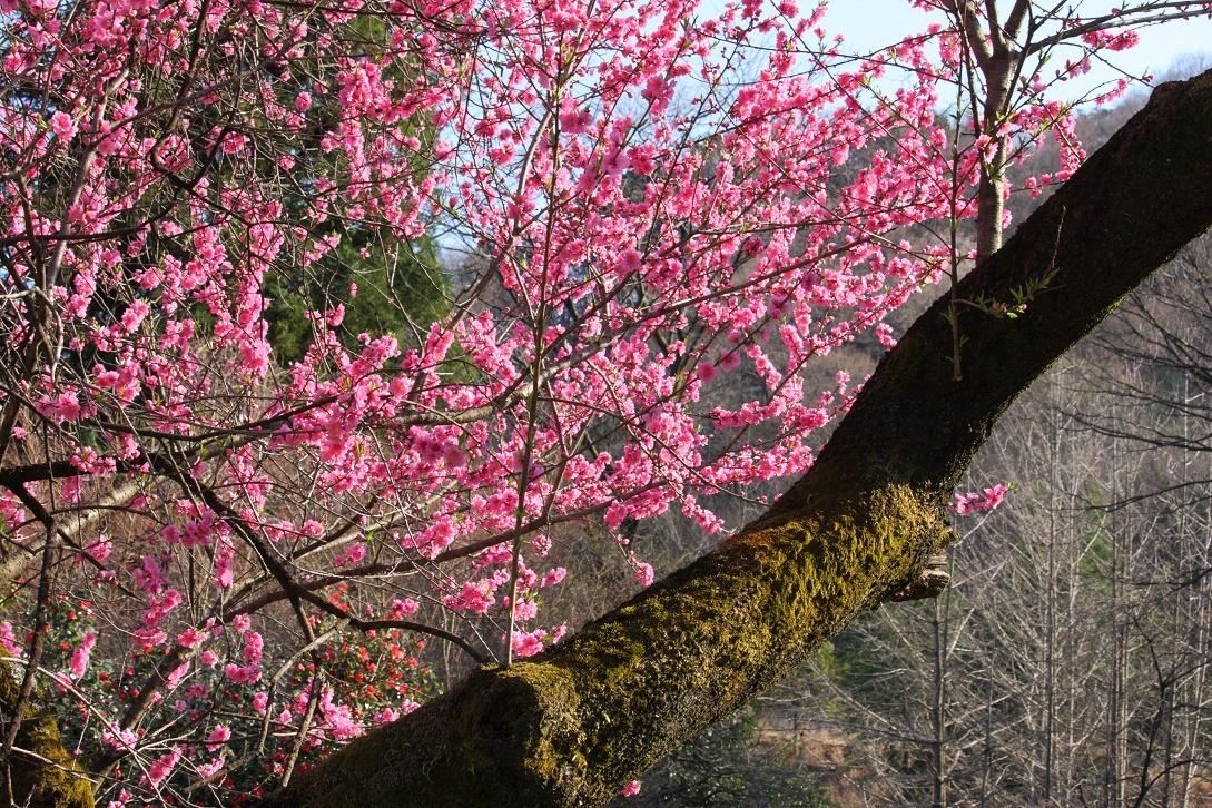 道端の桃の花18③
