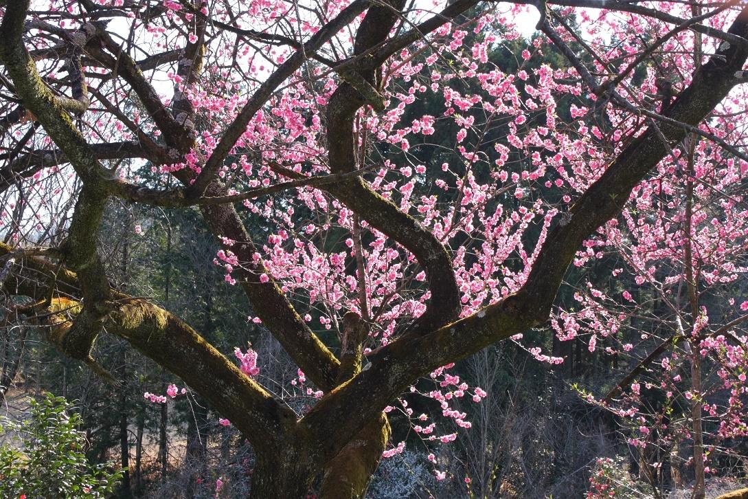 道路際の桃の木18⑤