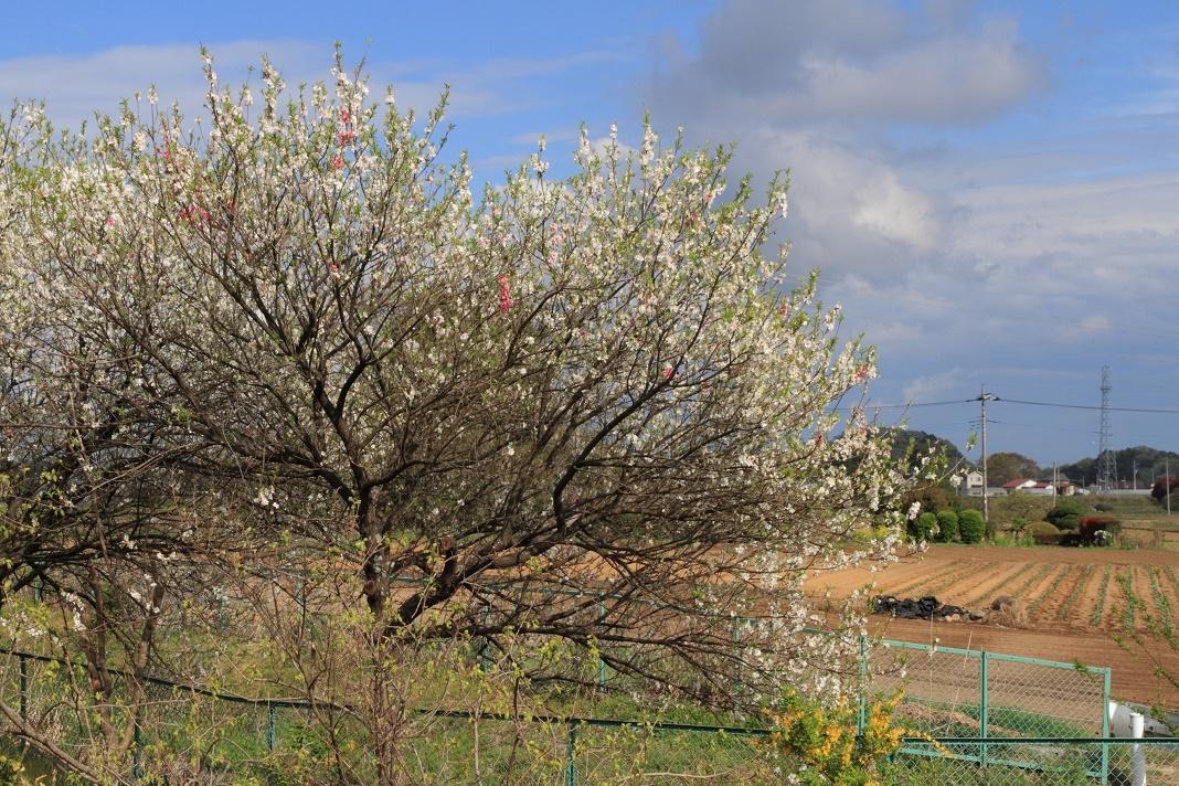 郊外の春の花①