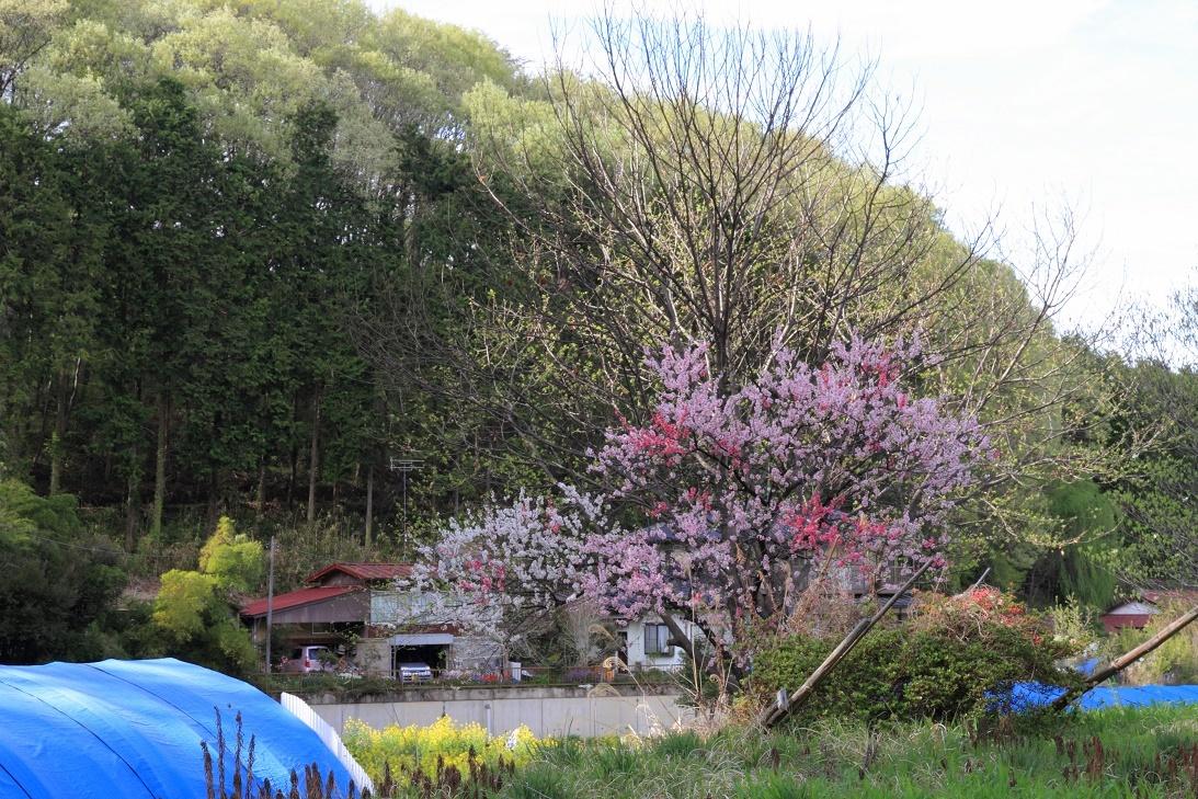 郊外の春の花②