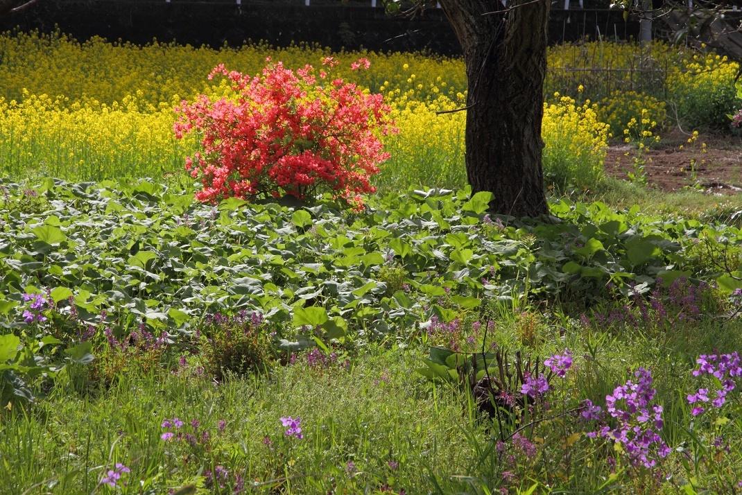 郊外の春の花18④