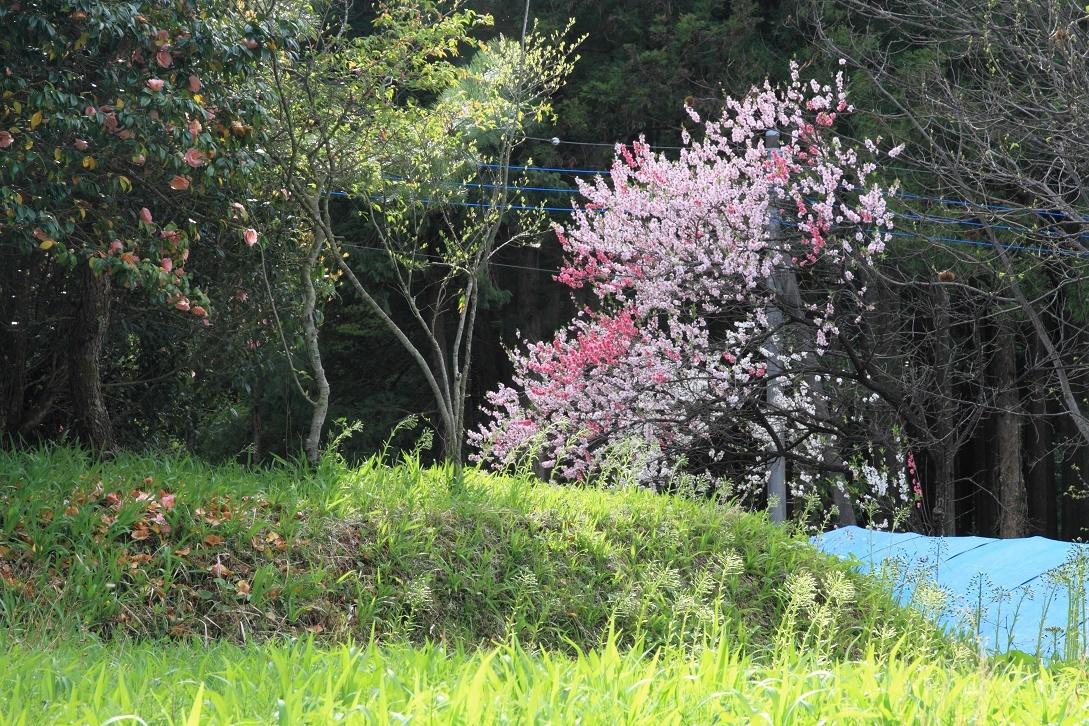 郊外の春の花18⑤