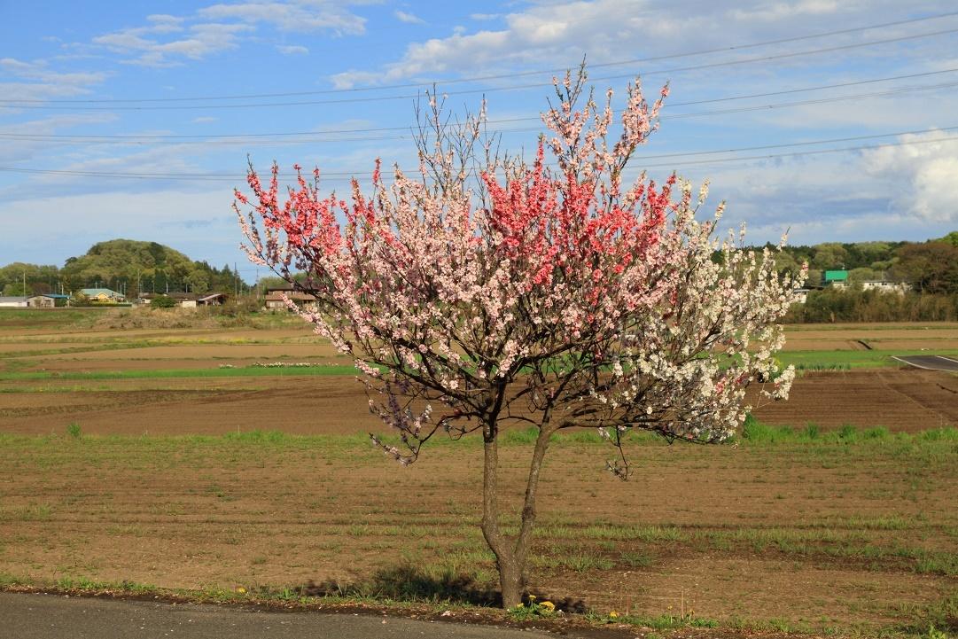 郊外の春の花18⑩