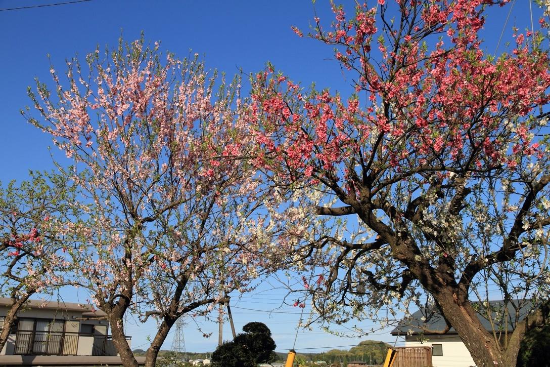郊外の春の花18⑬