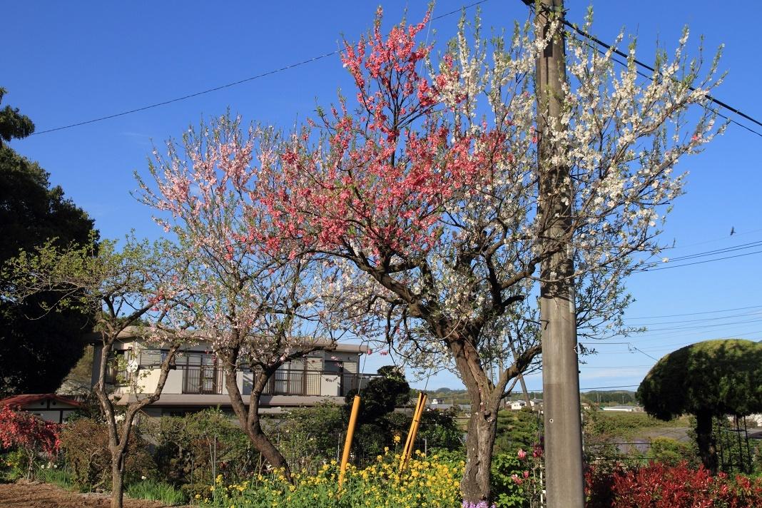 郊外の春の花18⑭