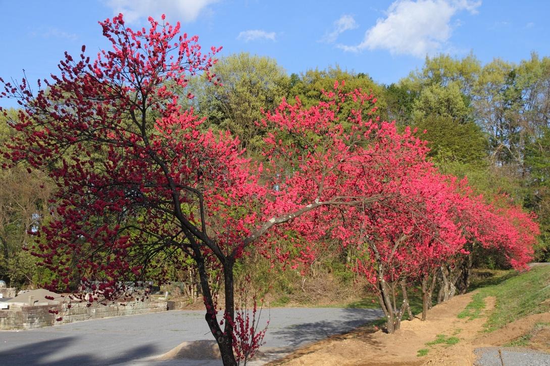 赤一色の桃の花18①