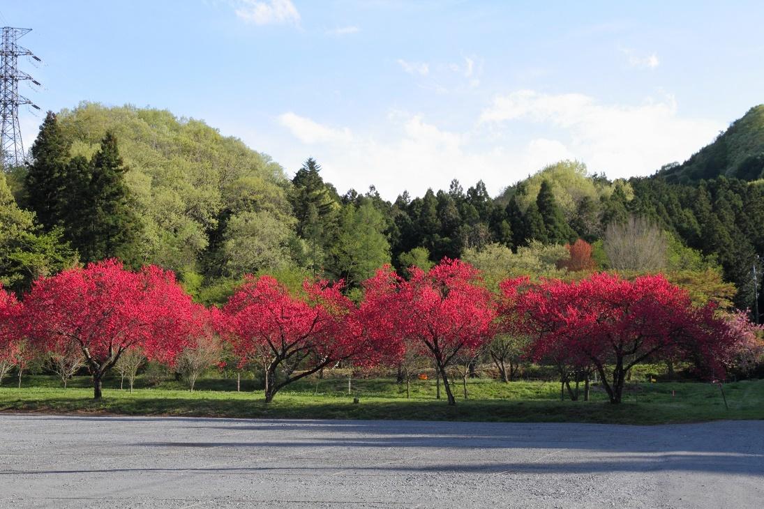 赤一色の桃の花18②