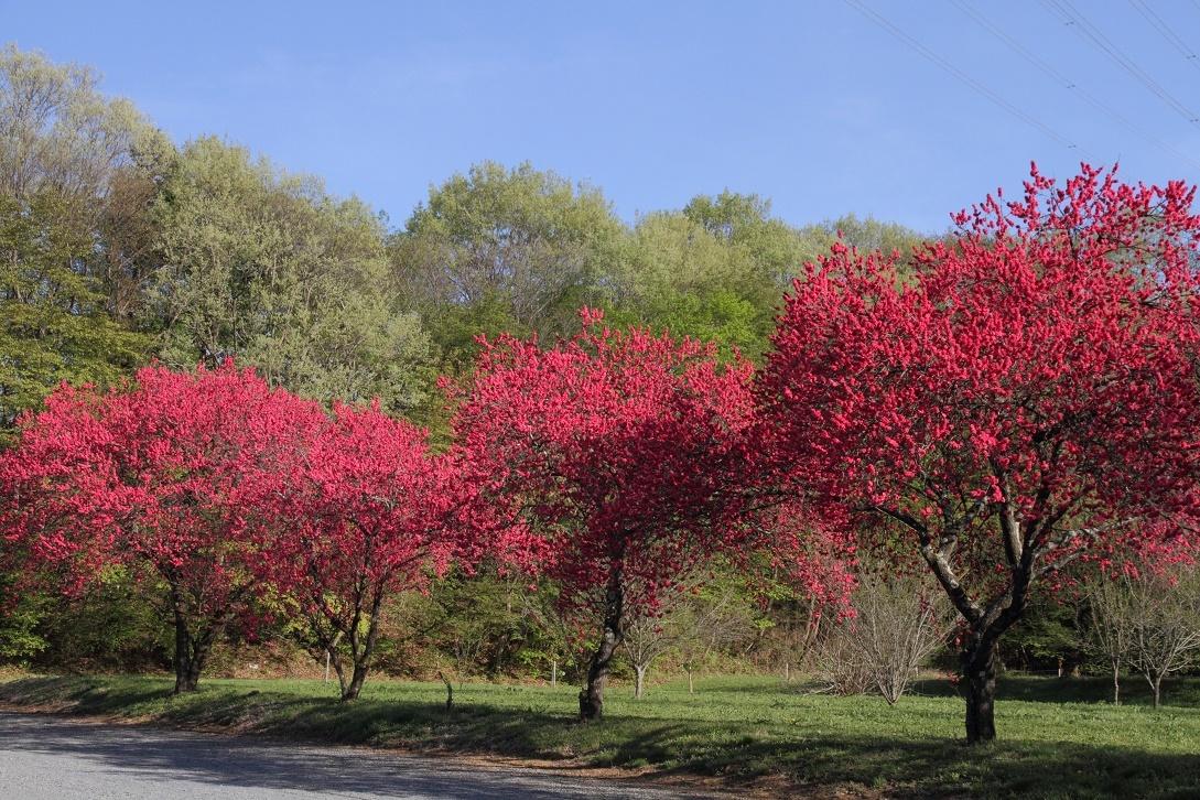 赤一色の桃の花18④