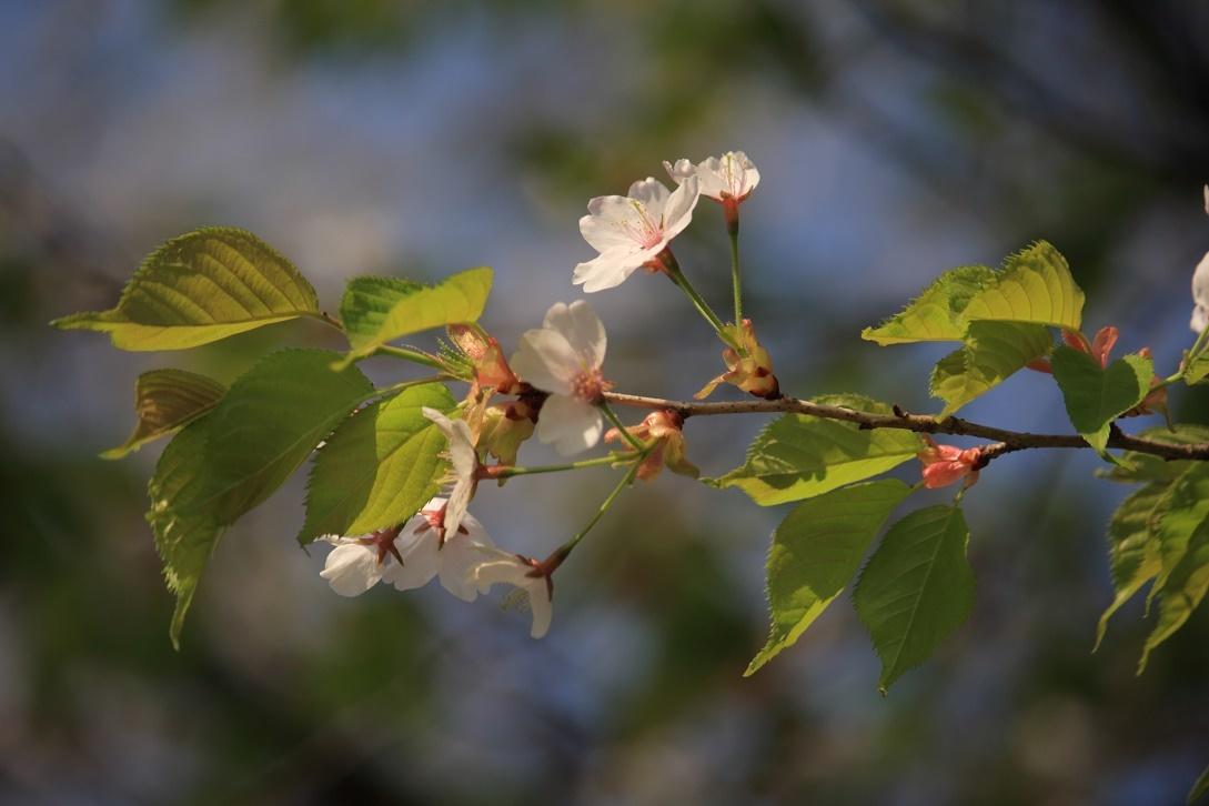霧降の葉桜18①