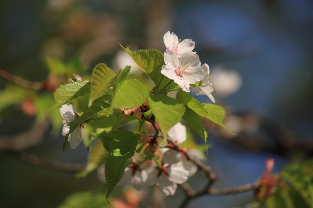 霧降の葉桜18②