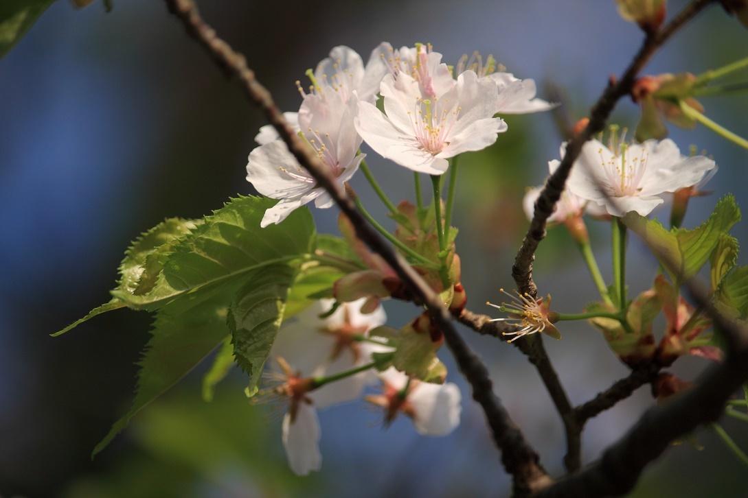 霧降の葉桜18③