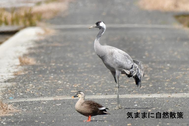 クロヅル (1)