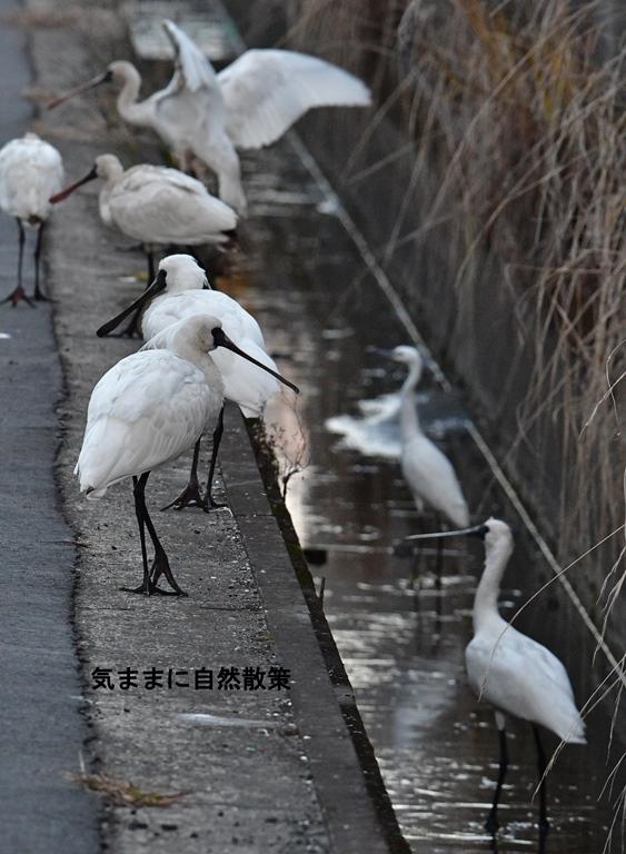 クロツラヘラサギ須崎調整池 (2)